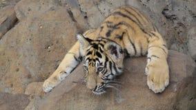 Weinig tijger royalty-vrije stock afbeelding