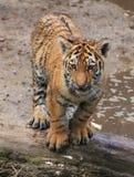 Weinig tijger bij het water Stock Foto's