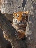 Weinig tijger op een boom Stock Afbeeldingen