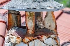Weinig uil op dichte omhooggaand van de steenschoorsteen Stock Foto