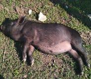 Weinig varken die in de zon zonnebaden Stock Foto