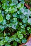 Weinig verse groene bladachtergrond Stock Foto