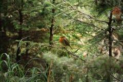 Weinig verstoord kuiken van Robin royalty-vrije stock fotografie