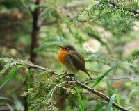 Weinig verstoord kuiken van Robin royalty-vrije stock afbeeldingen