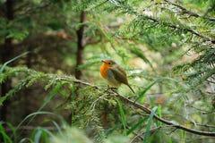 Weinig verstoord kuiken van Robin royalty-vrije stock foto's