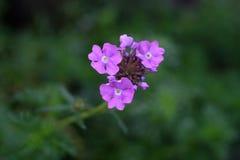 Weinig viooltje bloeit Royalty-vrije Stock Foto's