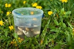 Weinig vis overbevolkte in de plastic emmer Royalty-vrije Stock Foto's