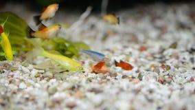Weinig vis in vissentank of aquarium, gouden vissen, guppy en rode vissen, buitensporige karper met groene installatie, het onder stock videobeelden