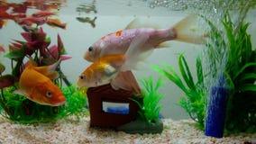 Weinig vis in vissentank of aquarium, gouden vissen, guppy en rode vissen, buitensporige karper met groene installatie, onderwate stock footage