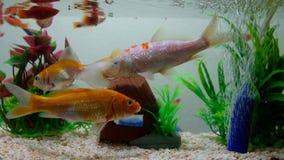 Weinig vis in vissentank of aquarium, gouden vissen, guppy en rode vissen, buitensporige karper met groene installatie, onderwate stock video