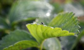 Weinig vlieg zit op een blad van aardbeienclose-up met een vage achtergrond royalty-vrije stock fotografie