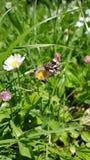Weinig vlinder op een bloem Royalty-vrije Stock Afbeelding