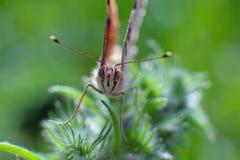 Weinig vlinder op een bloem, Macro Stock Fotografie
