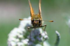 Weinig vlinder op een bloem, Macro Stock Afbeelding