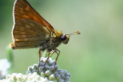 Weinig vlinder op een bloem, Macro Royalty-vrije Stock Fotografie