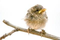 Weinig vogel stock foto