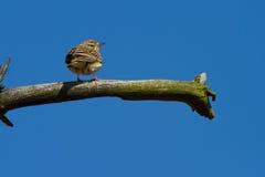 Weinig Vogel Stock Afbeelding