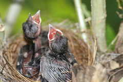 Weinig Vogel in het nest Royalty-vrije Stock Fotografie