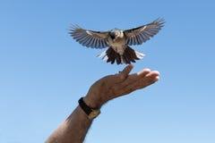 Weinig vogel plukt pinda's van een mannelijke hand Stock Afbeeldingen