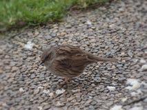 Weinig vogel zoekt voedsel in de winter stock afbeeldingen