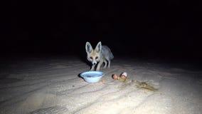 Weinig vos in de woestijn stock video