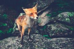 Weinig vos die zich op de kei bevinden Tatras Royalty-vrije Stock Foto