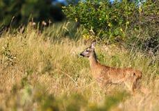 Weinig vrouwelijk kuit-hert royalty-vrije stock foto