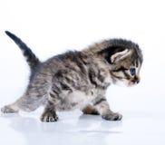 Weinig 2 weken oud katjes Royalty-vrije Stock Afbeeldingen