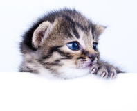 Weinig 2 weken oud katjes Stock Foto's