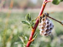 Weinig wespbijenkorf op een tak op een groene achtergrond stock foto