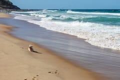 Weinig Westie-hondrust op het zand dichtbij de waterlijn zoals whitecaps ver naar de kust met onherkenbare zwemmers in t rol Royalty-vrije Stock Foto's
