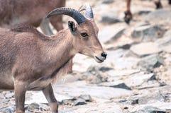 Weinig wilde geit onder haar familie, die rechtdoor een rotsachtige grond kijken stock foto