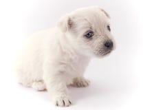weinig wit puppy Stock Foto's