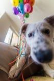 Weinig wit puppy met zwarte vlekken Het puppy barstte ballon en kauwt hem op de laag Royalty-vrije Stock Afbeeldingen