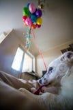 Weinig wit puppy met zwarte vlekken Het puppy barstte ballon en kauwt hem op de laag Stock Foto