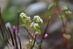 Weinig wit van de de windkleur van bloemtibet Stock Afbeelding