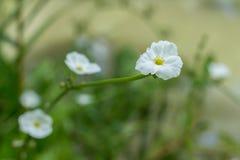 Weinig witte bloem Royalty-vrije Stock Foto