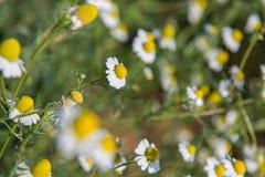 Weinig witte bloem met geel stuifmeel in tuin Royalty-vrije Stock Fotografie