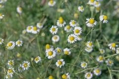Weinig witte bloem met geel stuifmeel in tuin Royalty-vrije Stock Foto
