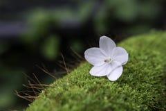 Weinig witte bloem op mos Royalty-vrije Stock Afbeelding