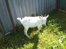 Weinig witte geit Stock Afbeelding