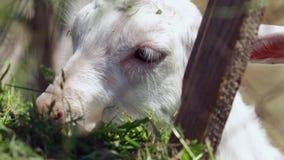 Weinig witte geit die hooi op een landbouwbedrijf eten stock footage