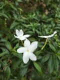 Weinig witte jusmine royalty-vrije stock foto's