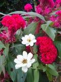 Weinig witte Zinnia en rode Hanekam bloeien Royalty-vrije Stock Afbeeldingen