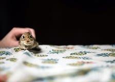 Weinig woestijnratmuis in vrouwelijke hand De ruimte van het exemplaar stock afbeelding