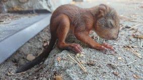 Weinig zitting van de eekhoornbaby Stock Fotografie