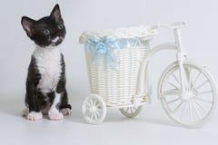 Weinig zitting van katjesural Rex naast een stuk speelgoed fiets die, op een witte achtergrond omhoog kijken Kleur: zwarte tweekl stock afbeeldingen