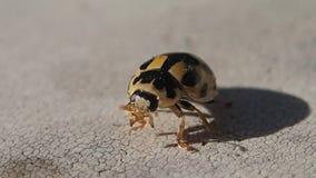 Weinig zwart en geel lieveheersbeestje die zijn benen schoonmaken stock video