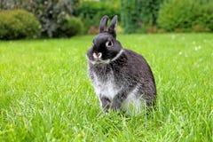 Weinig zwart konijn op groene grasachtergrond Stock Foto's