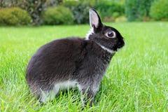 Weinig zwart konijn op groene grasachtergrond Stock Fotografie